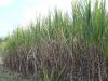 Lacaseafoule, un Gîte de la Réunion : Vue sur les champs de cannes