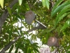 Lacaseafoule, un Gîte de la Réunion : fruit Coeur de boeuf