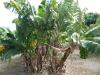 Lacaseafoule, un Gîte de la Réunion : Bananier