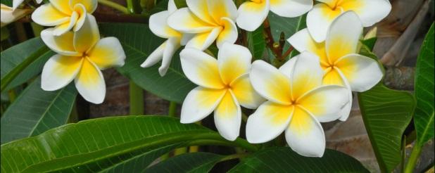 Lacaseafoule, un Gîte de la Réunion : Fleur de Frangipanier