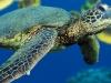 Lacaseafoule, un Gîte de la Réunion : tortue de la ferme kélonia